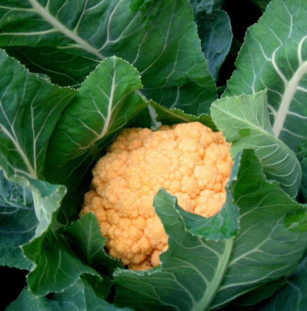 1-yellow cauliflower griffin grown