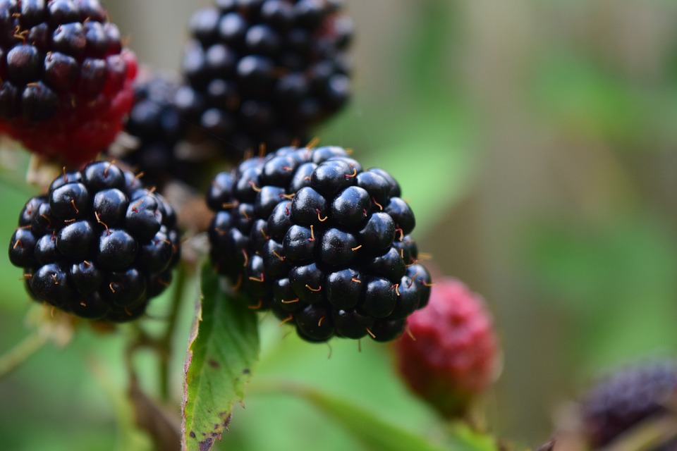 blackberries-1541331_960_720