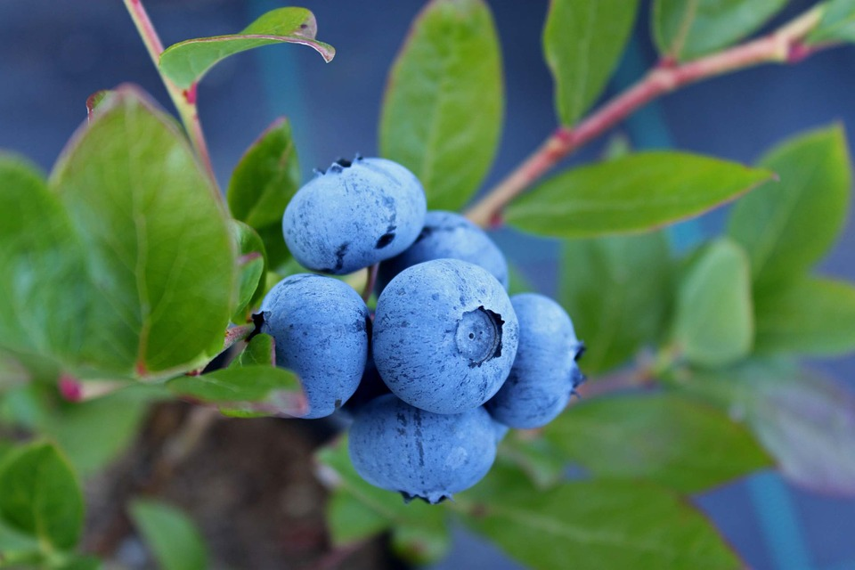 blueberry-1062712_960_720 - Copy