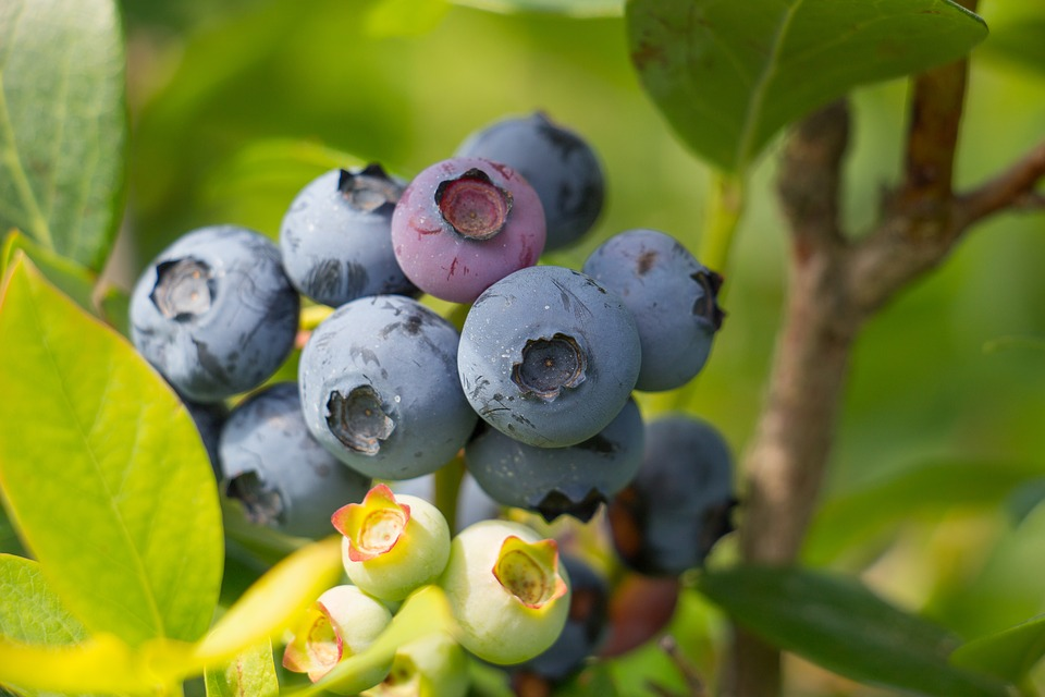 blueberry-2281677_960_720 - Copy