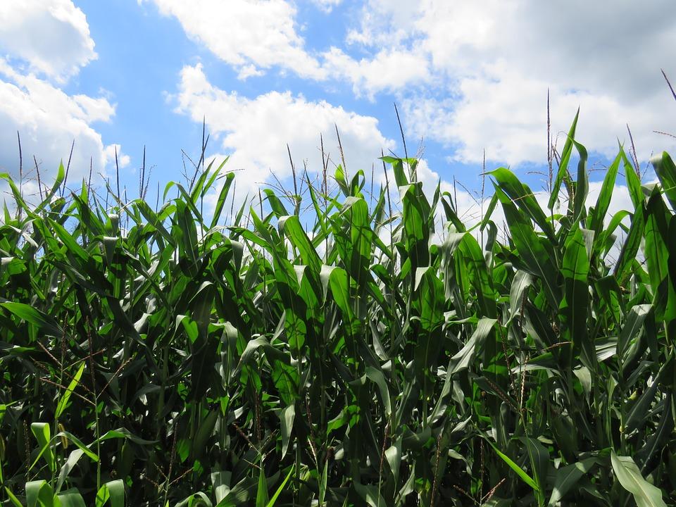 corn-1724059_960_720