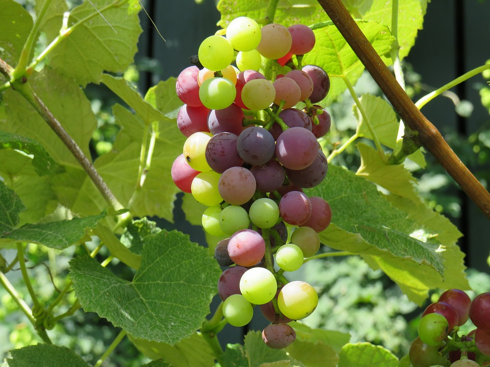 grape-1724044_960_720