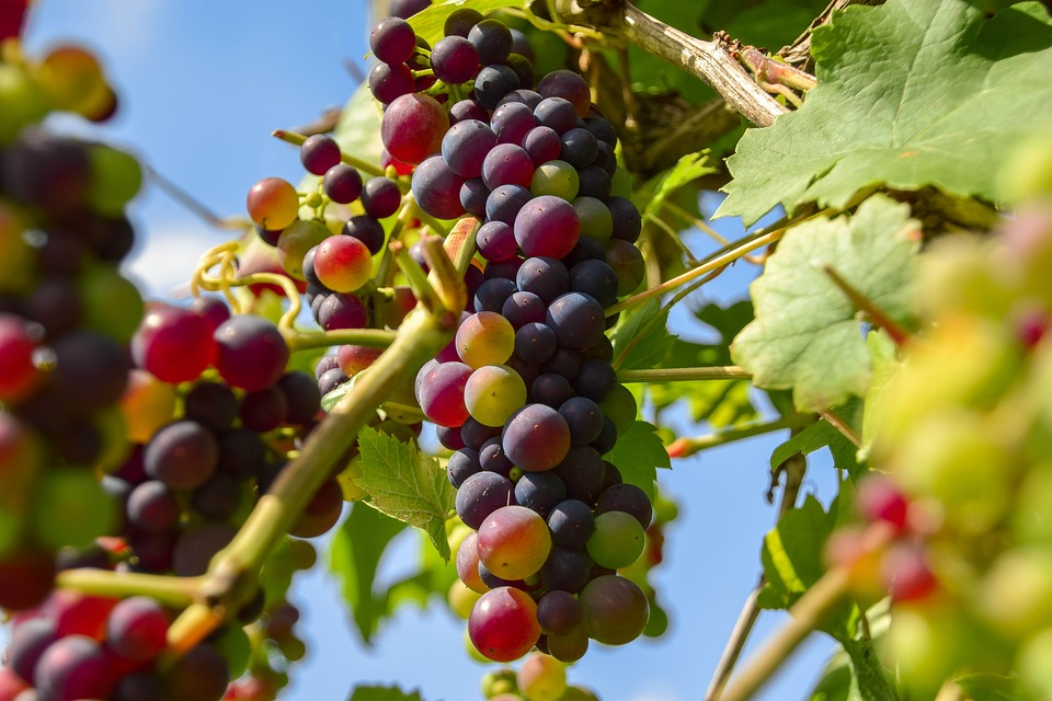 grapes-2729810_960_720