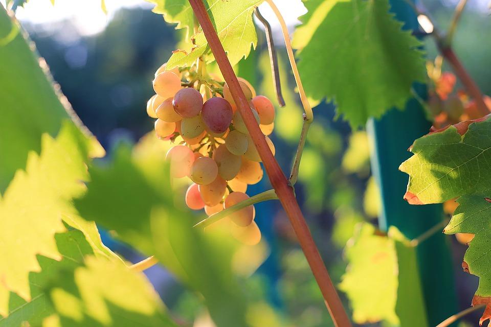 grapes-2749415_960_720