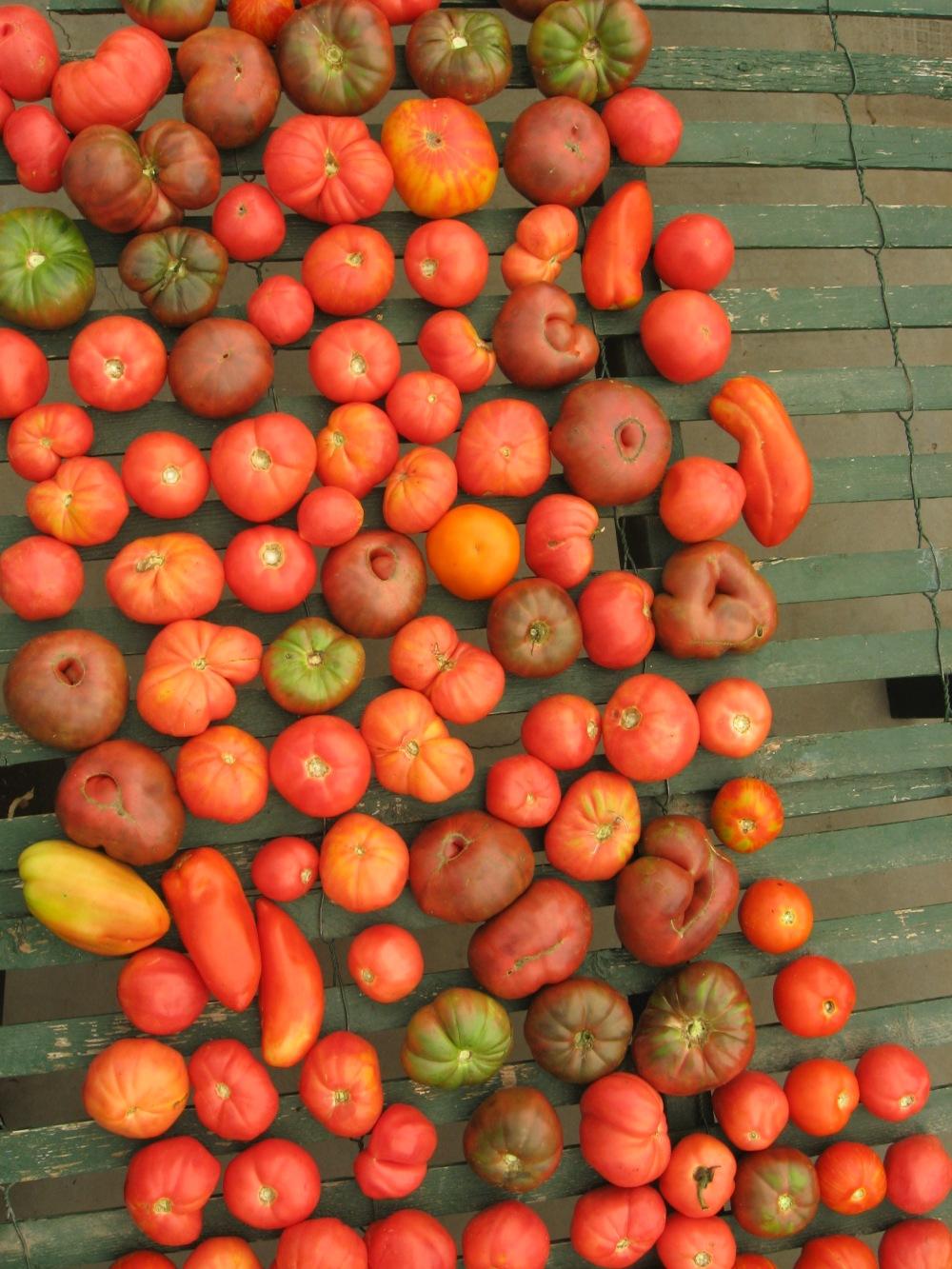 heirloom tomatoes farmer steve 2