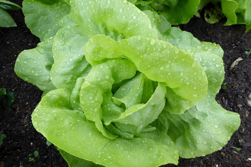 lettuce-1463485_960_720