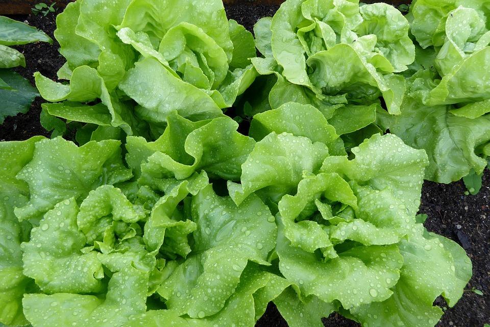 lettuce-1463495_960_720