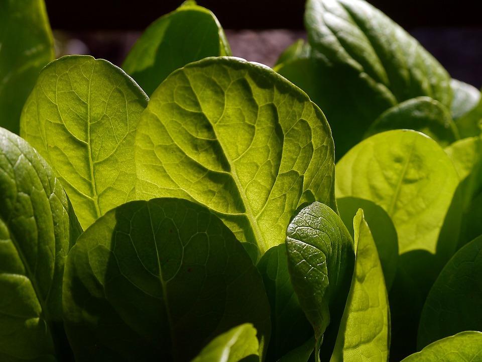 lettuce-498655_960_720