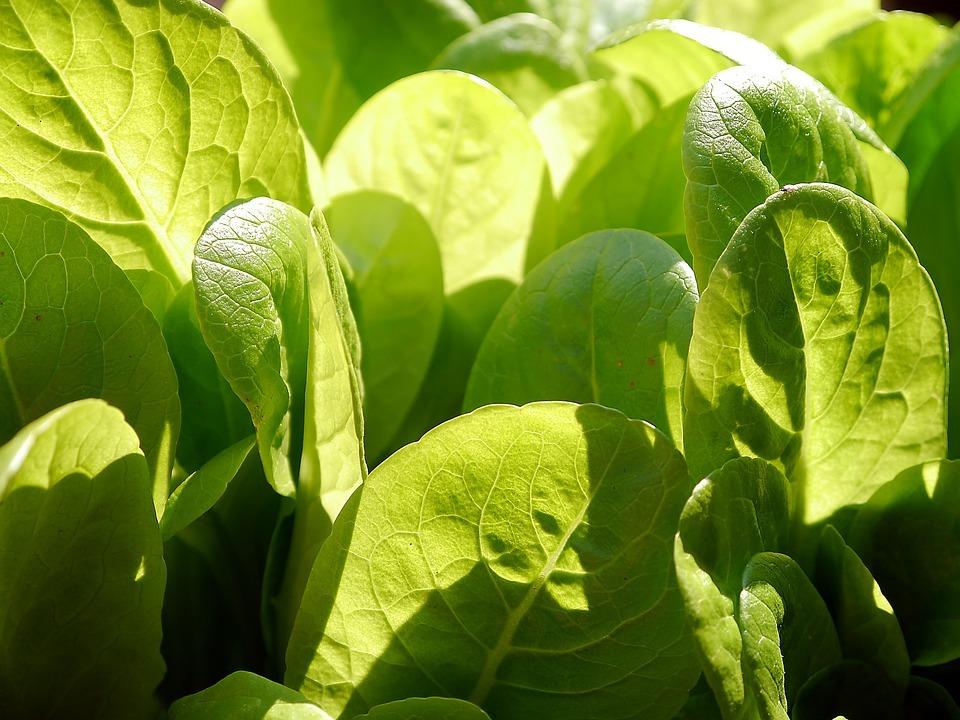 lettuce-498656_960_720