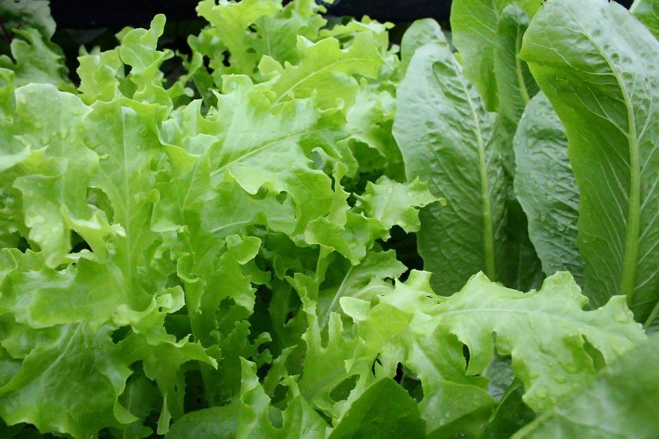 lettuce-811962_960_720