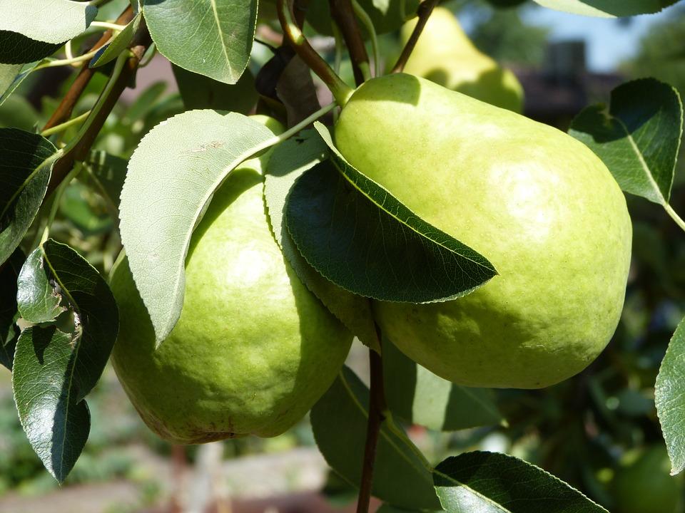 pear-1746672_960_720