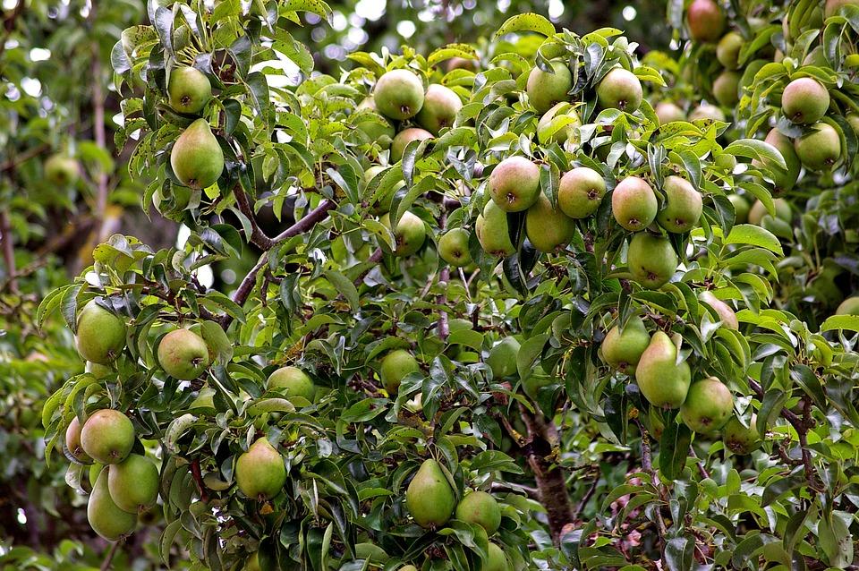 pears-1633681_960_720