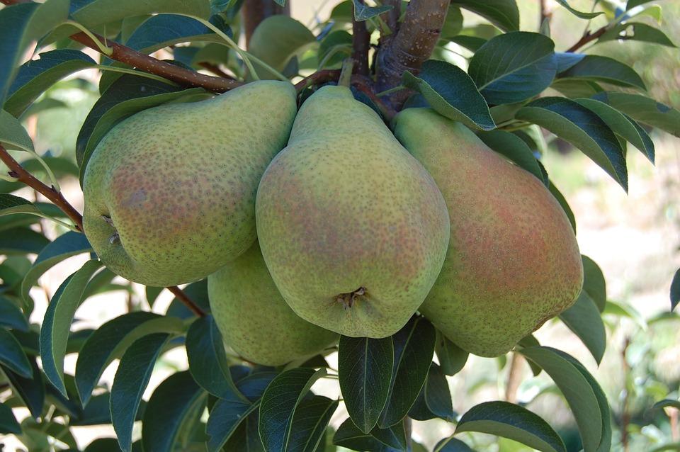 pears-2659935_960_720