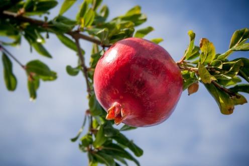 pomegranate-2103105_960_720