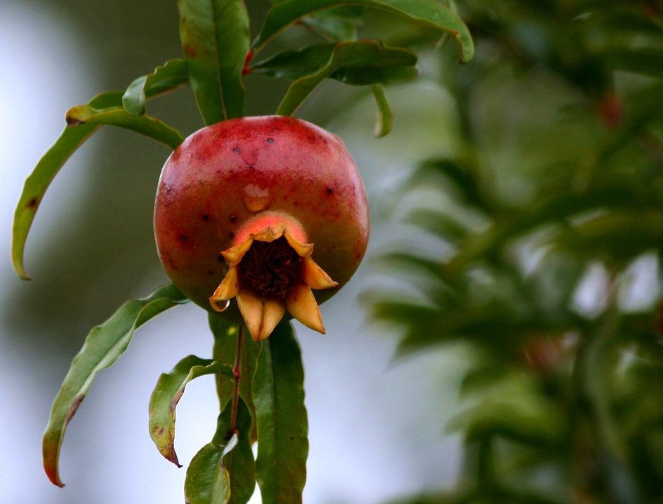 pomegranate-58553_960_720