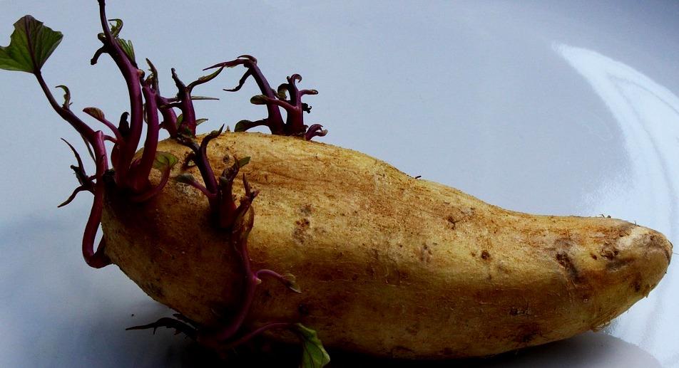 potato-1927136_960_720