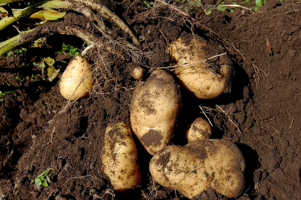 potatoes-1637280_960_720
