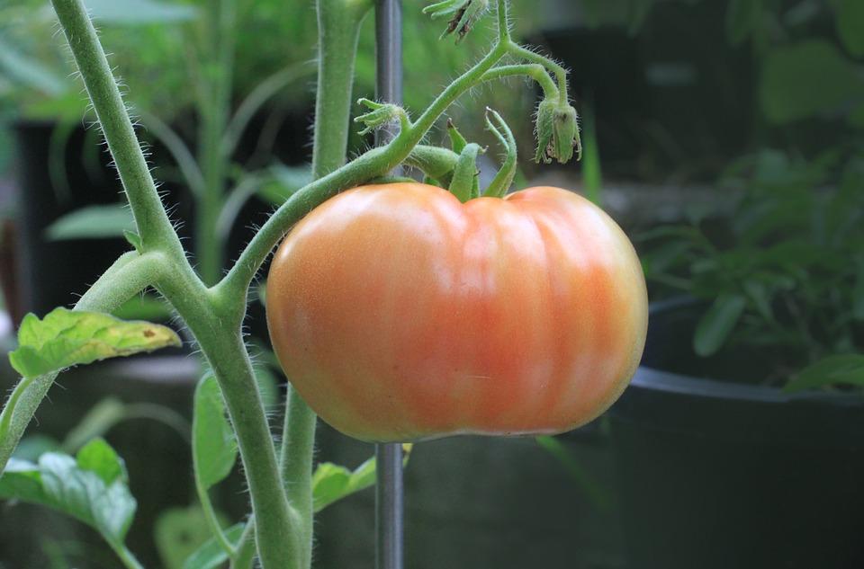 tomato-1518983_960_720