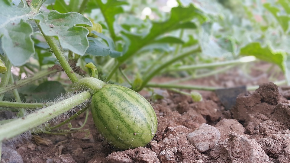 watermelon-2511067_960_720