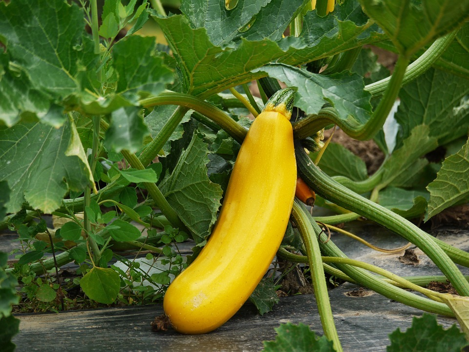 zucchini-1522535_960_720