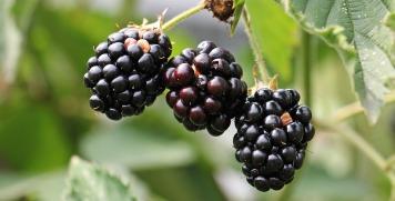 blackberries-1539540_960_720