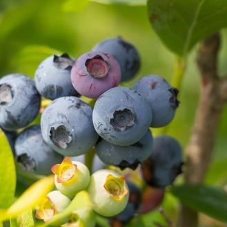 blueberry-2281677_960_720
