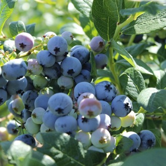 blueberry-2412112_960_720