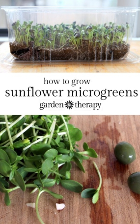 How-to-Grow-Sunflower-Sprouts-microgreens-at-home