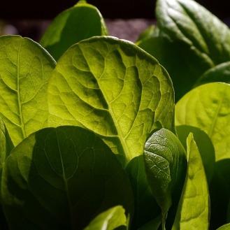 lettuce-498655_960_720 (2)