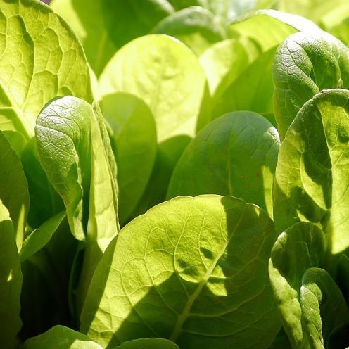 lettuce-498656_960_720 (2)