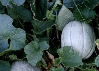 melon-2689452_960_720