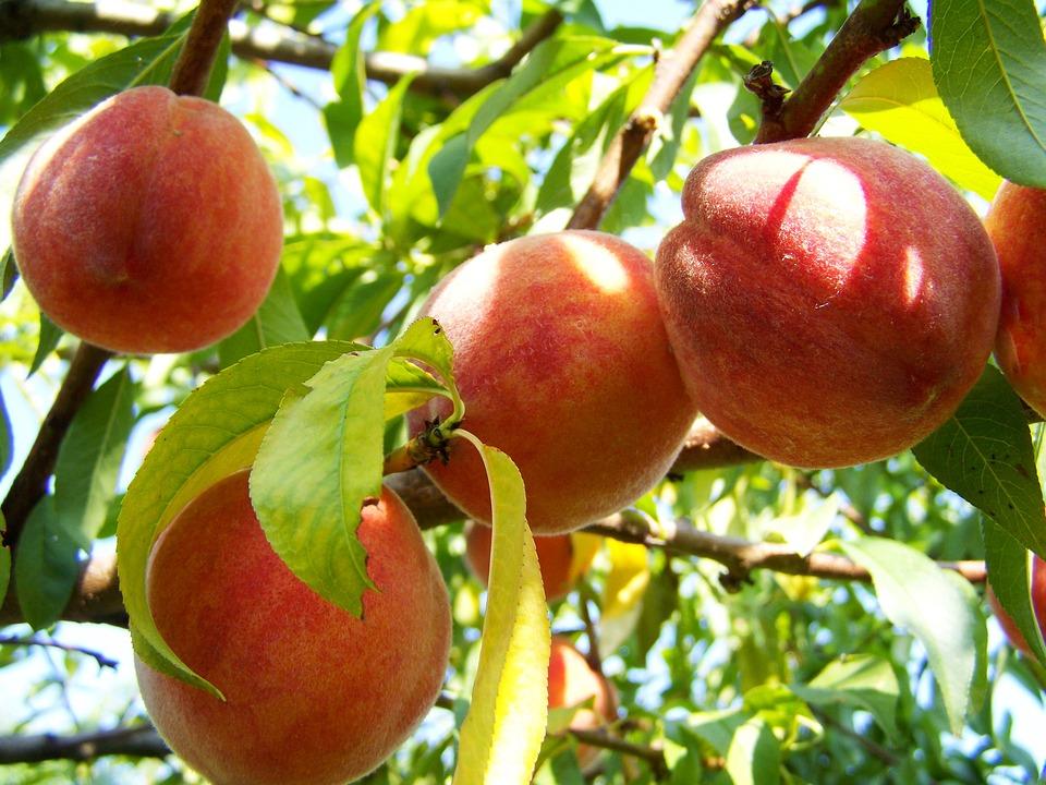 peach-2657598_960_720
