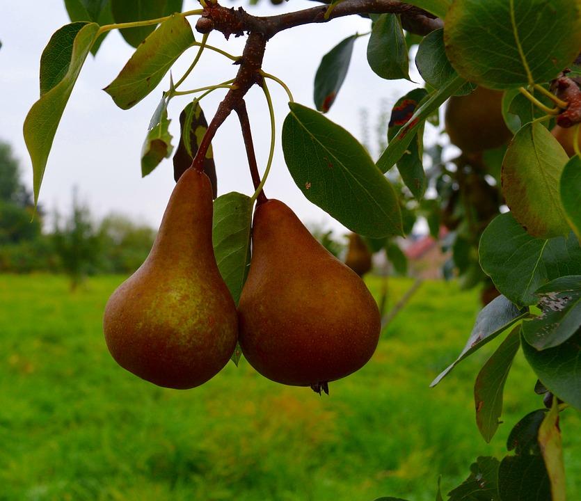 pears-1679718_960_720