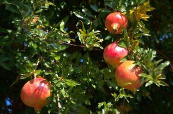 pomegranate-2290136_960_720