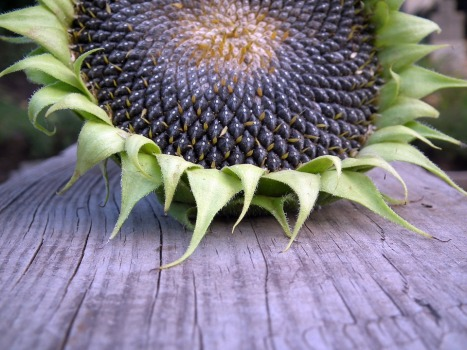 sunflower-193468_960_720