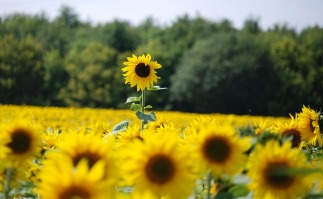 sunflower-369731_960_720
