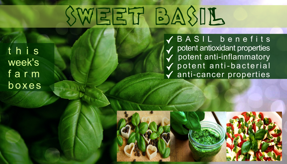 sweet basil benefits2