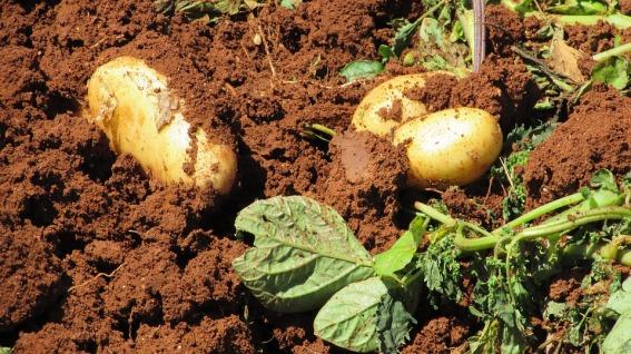 potatoes-1303563_960_720