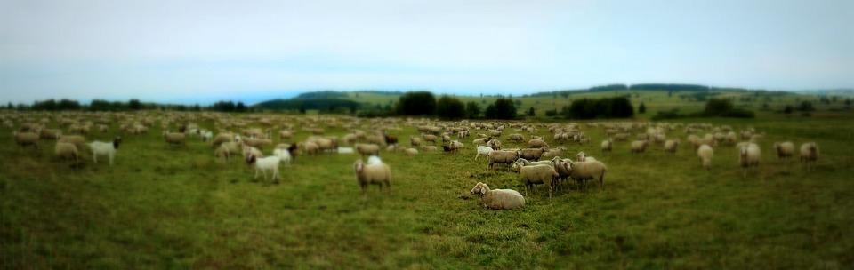 sheep-1563110_960_720 - Copy